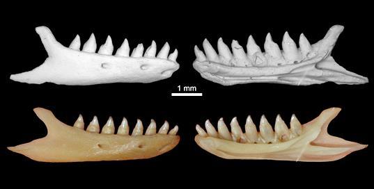 Нижняя челюсть ископаемой амфисбены (сверху) из семейства Cadeidae из пещеры Эль-Аброн в сравнении с современной кубинской пятнистой амфисбеной Cadea blanoides (снизу). По: Syromyatnikova et al., 2020, с изменениями.