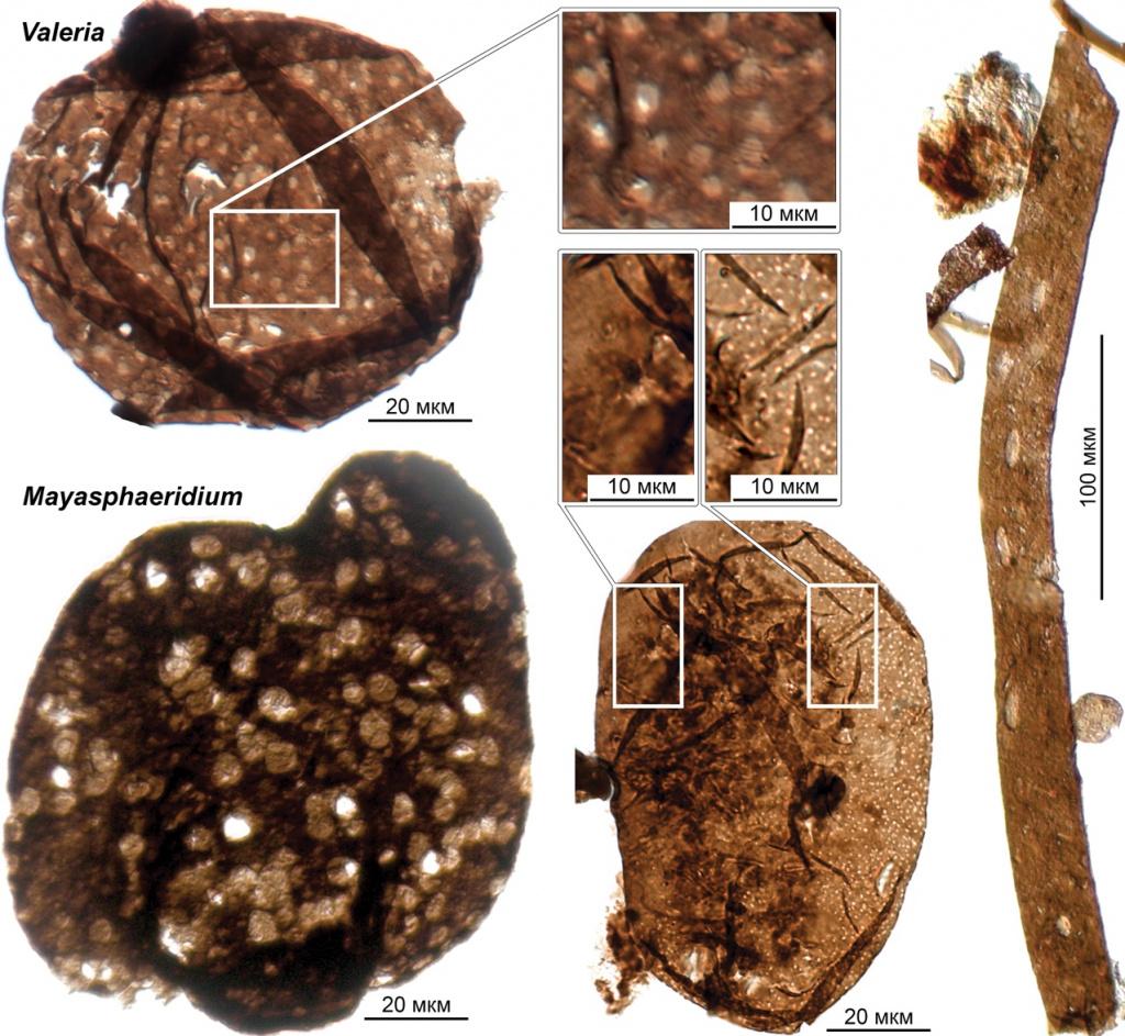 Перфорированные микрофоссилии из лахандинского лагерштетта: Majasphaeridium, Valeria и другие проблематики.