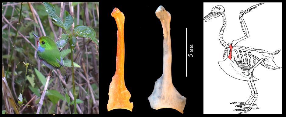 Слева – современный кубинский тоди Todus multicolor (фото Э. Аранда); в центре – ископаемая кость (коракоид) тоди из пещеры Эль-Аброн в сравнении с таковой современного вида (более светлая); справа – положение коракоида в скелете птицы. По: Зеленков, Гонсалес, 2020, с изменениями.